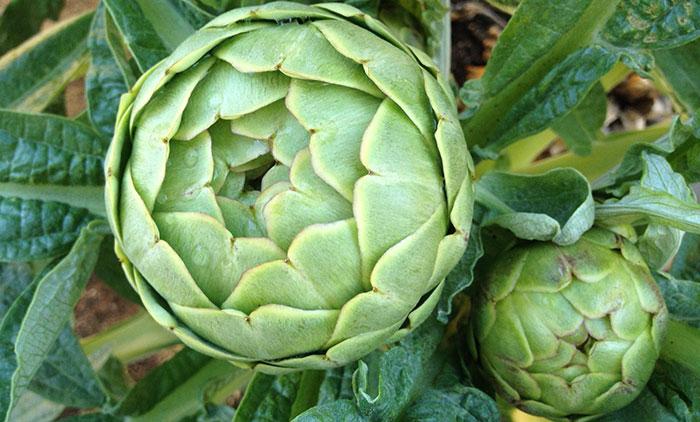 What Are Artichoke Plants?
