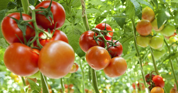 What is the best hydroponic system for growing tomatoes?