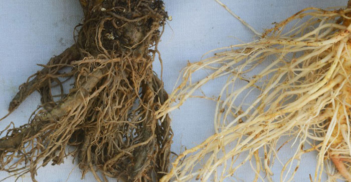 learn how to get rid of root rot in this post!