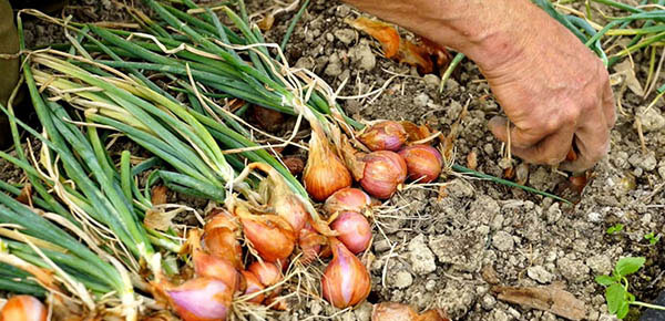 How To Harvest Shallots