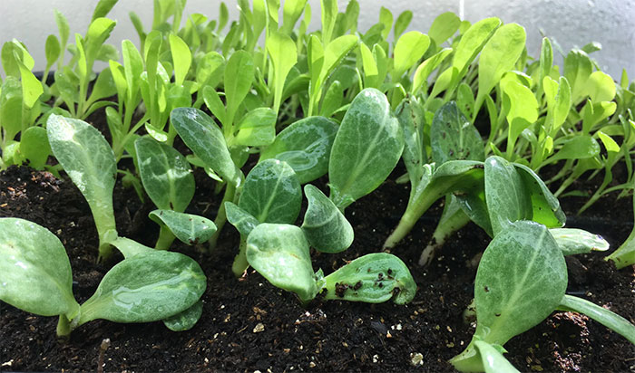 How Deep Do You Plant Artichoke Seeds?