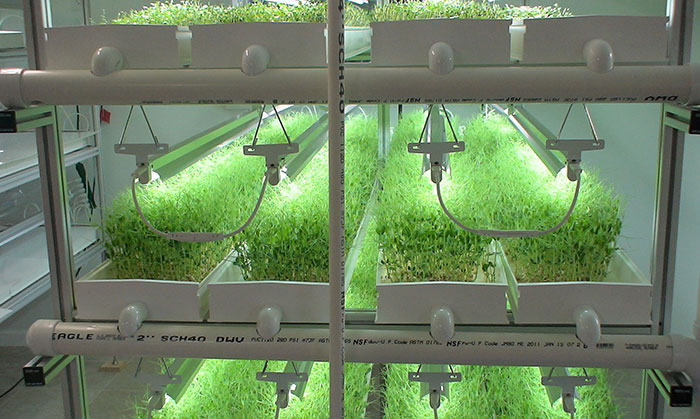 What Is Needed To Start Growing Microgreens Hydroponically?