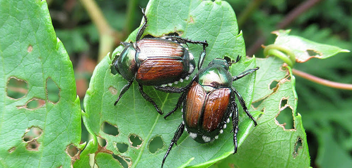What Harm Can June Bugs Do To Plants?