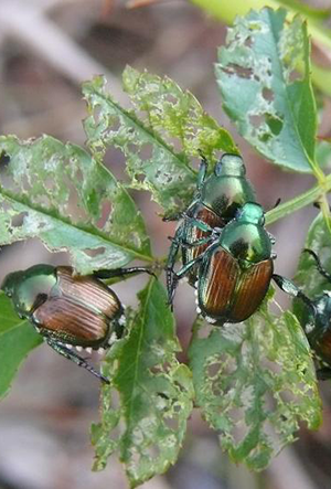 How To Get Rid Of June Bugs In The Garden