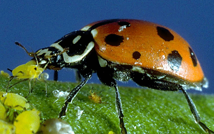 Ladybugs are an organic way to control aphid infestations on your plants