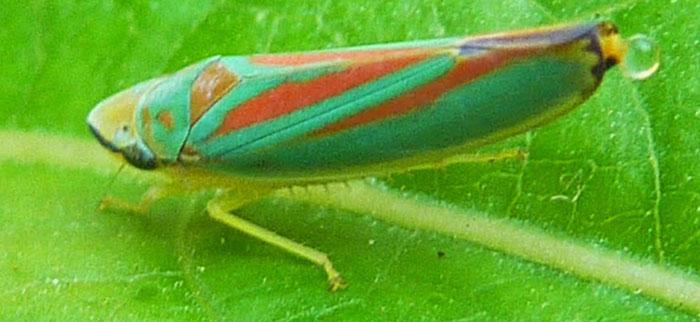 leafhopper honeydew