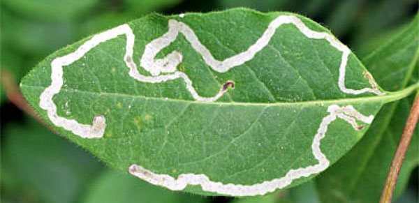 How do you get rid of leafminers?