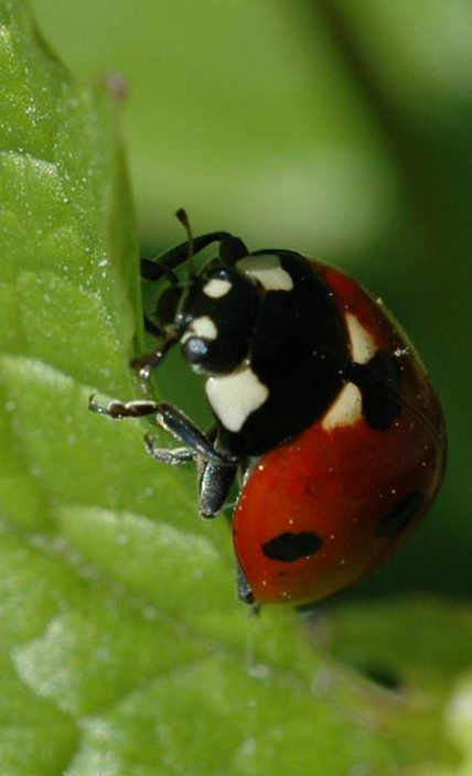 ladybugs are the most common, well known beneficial bugs for plants