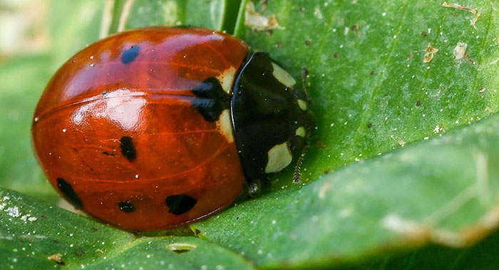 get rid of leafhoppers with beneficial bugs, such as ladybugs