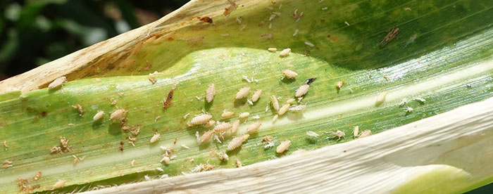 to get rid of leafhoppers, you need to learn how to identify them first