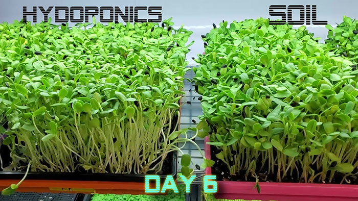 Why Should I Try Growing Microgreens Hydroponically vs In Soil?