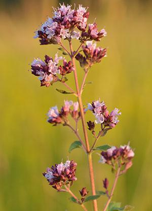 Should I Let My Oregano Flower?