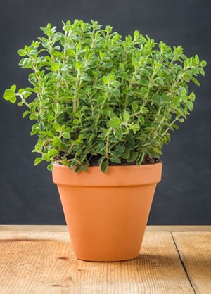 What Is The Best Way To Grow Oregano?