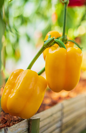 Can You Grow Bell Peppers From Store Bought Peppers?