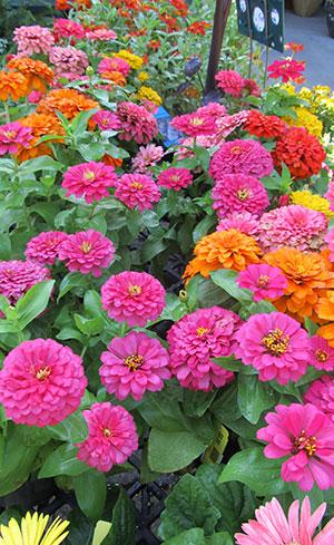 What Perennials Grow the Longest?