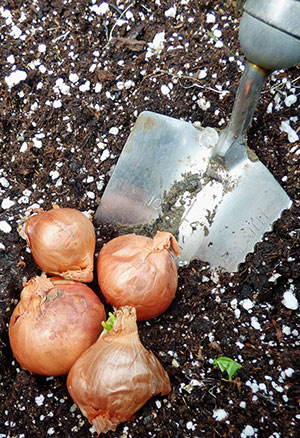 How To Care For Shallots After Planting