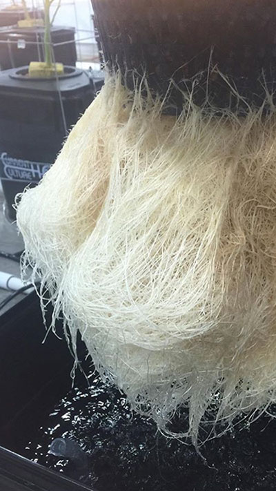 Root System from hydroponics