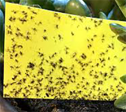 Catch Fungus Gnats with sticky traps
