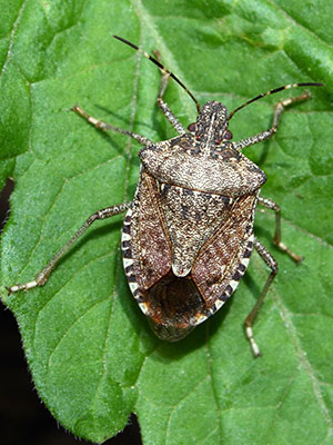 How To Prevent A Stink Bug Infestation In The First Place