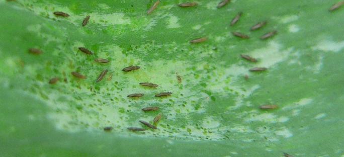 Thrips infestation on foliage