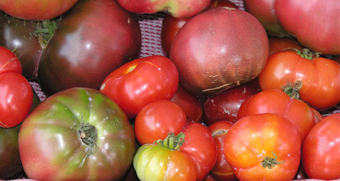 Which variety of tomato should I grow hydroponically?