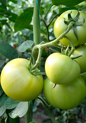 how to clone a tomato plants
