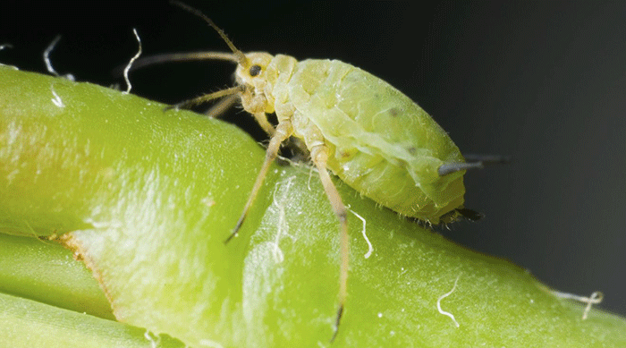 What are aphids