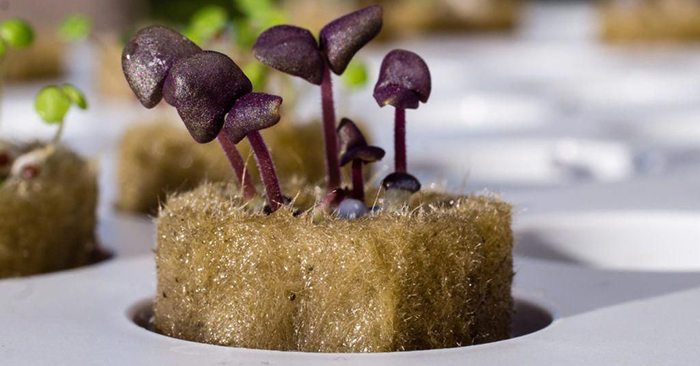 How To Grow Hydroponic Mushrooms