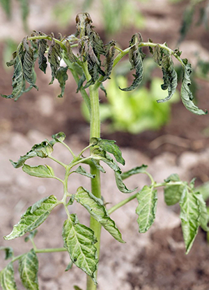 Will Plants Recover From Heat Stress?