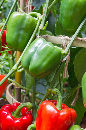 What Month Do You Plant Bell Peppers?