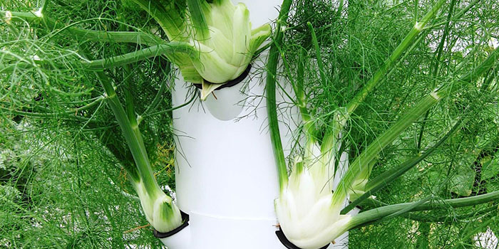 How To Start Hydroponic Carrots - Seeds vs Clones