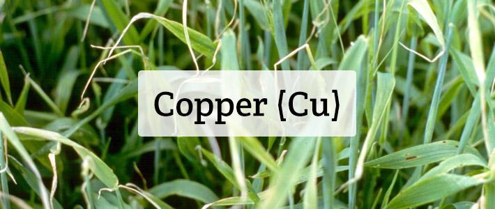 Copper (Cu) Nutrient Deficiencies In Plants - Hydrobuilder