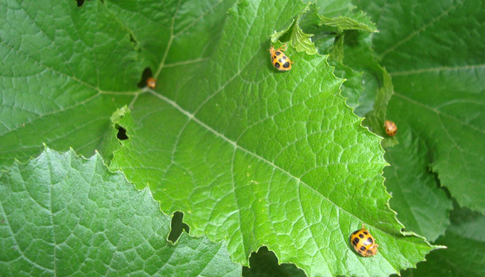Get Rid Of Cucumber Beetles Naturally