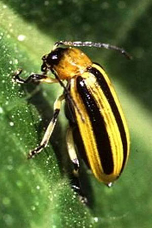 What Insecticide Kills Cucumber Beetles On Plants?
