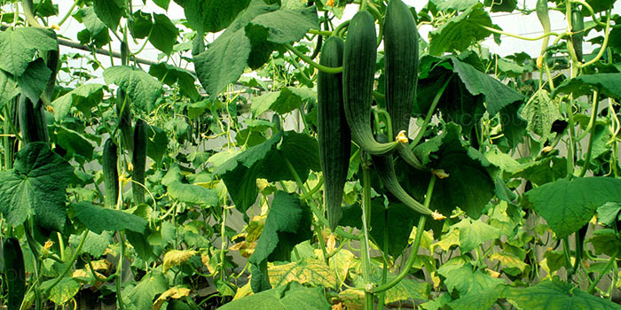What Are The Benefits Of Growing Cucumbers Hydroponically?