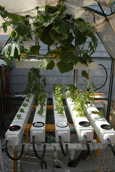 How Do You Start Hydroponic Cucumbers?