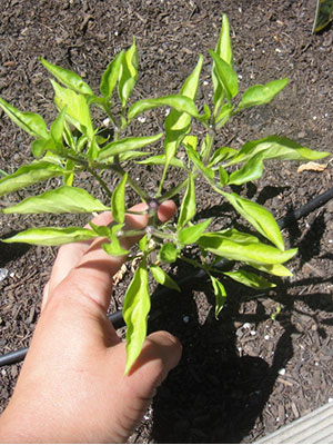 How To Remedy Plant Leaves Curling Up