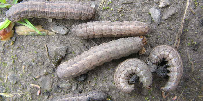 Attract Beneficial Predators To Eat Cutworms