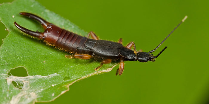 how to get rid of earwigs on outdoor plants