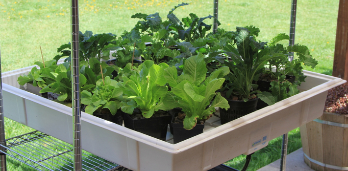 Hydroponic Ebb & Flow Systems for lettuce