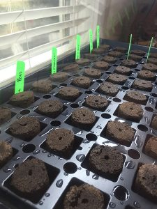 seedling tray and rootplugs
