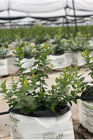 How To Start Hydroponic Blueberries - Seeds vs Clones