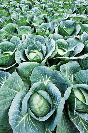 Caring For Your Hydroponic Cabbage