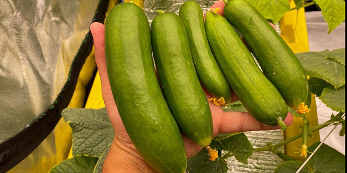What Varieties Of Cucumbers Should Be Grown Hydroponically?