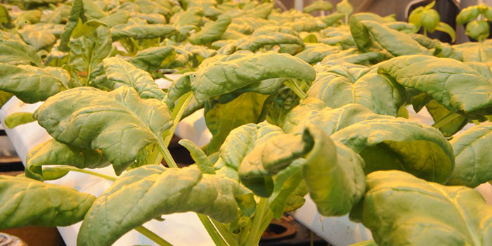 How To Start Hydroponic Spinach production
