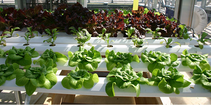 What Is The Best Variety Of Spinach To Grow Hydroponically?