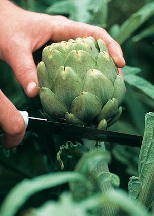 How To Harvest Artichoke Plants