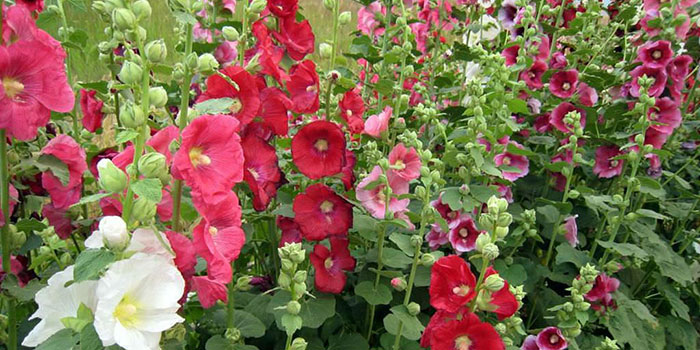 What Are Hollyhocks?