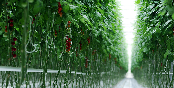 why you should try cloning tomato plants
