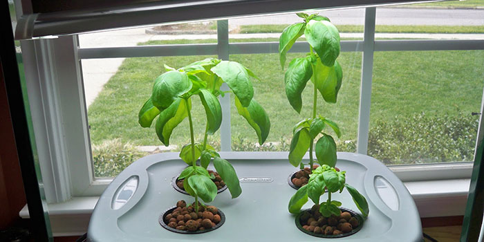 hydroponic basil growing